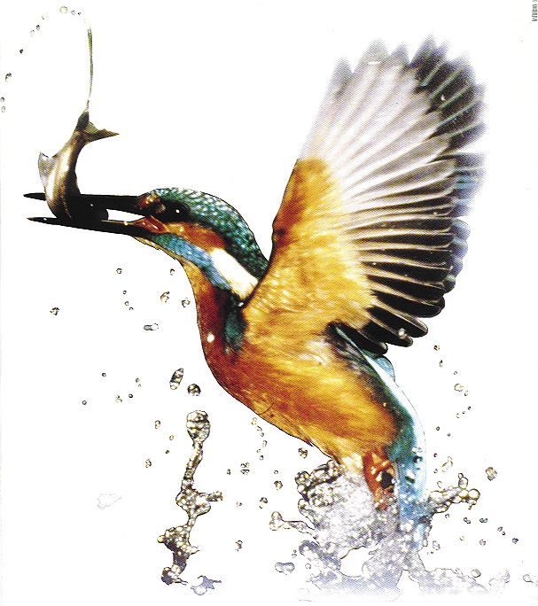 kingfisher lifecycle Life cycle are all living things go through , they born, they live, they reproduce and they die share to: what is kingfisher first answer- a kingfisher is a small and brightly coloured bird second answer- kingfishers are a suborder of birds.